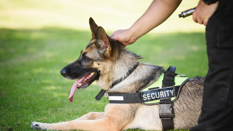 Great Reasons To Buy Trained Dogs Dogs By Andy K 9 Services