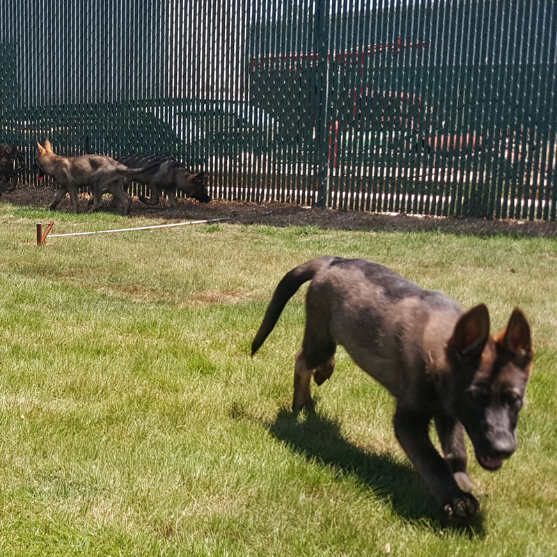 Trained Dogs For Sale In Charlotte Nc